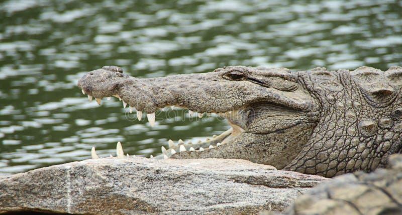 Crocodilia, Crocodile, Nile Crocodile, Reptile stock photo