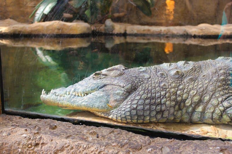 Crocodilia, Crocodile, Reptile, American Alligator stock photo