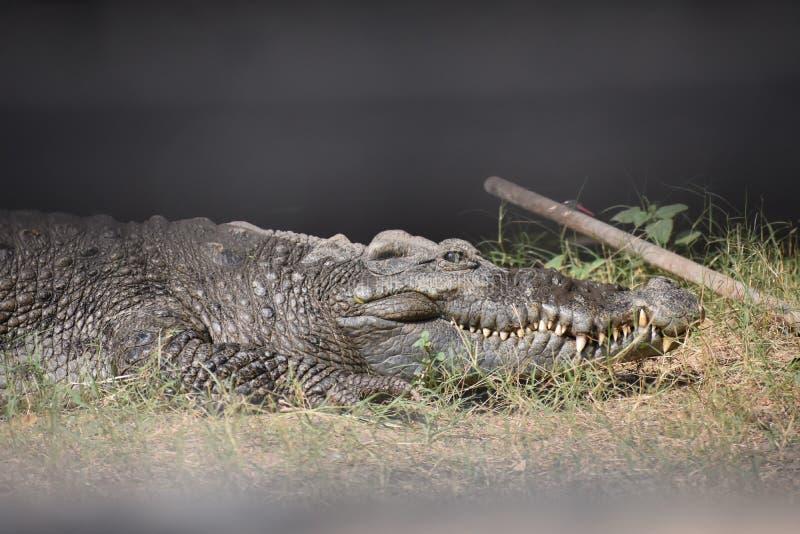 Crocodilia, Reptile, Crocodile, American Alligator stock images