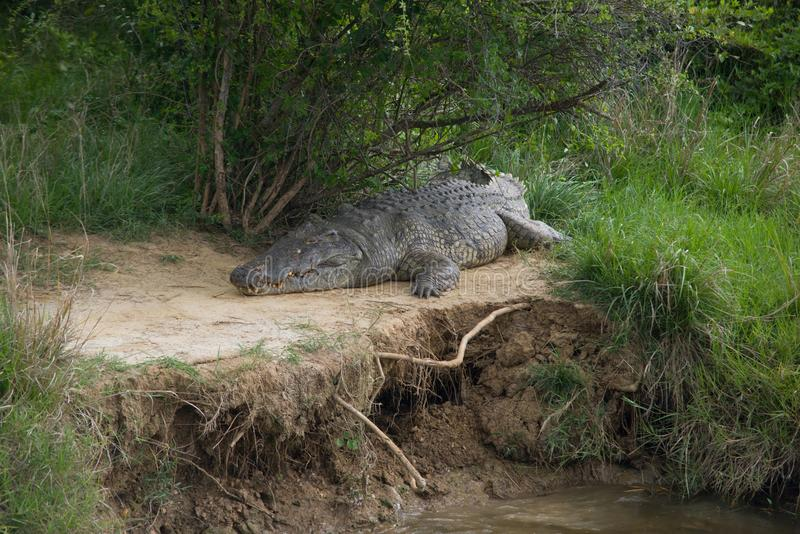 Crocodille fotos de stock