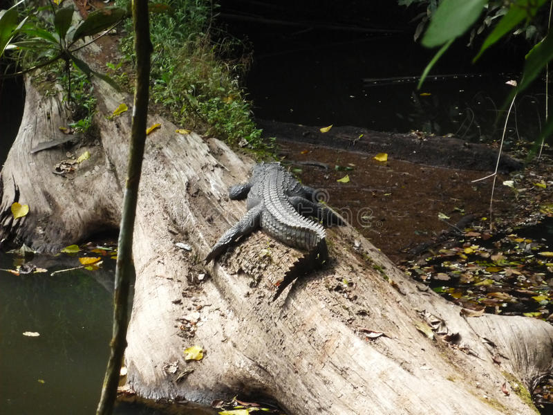 Crocodille no parque nacional de Khao Yai, Tailândia imagens de stock