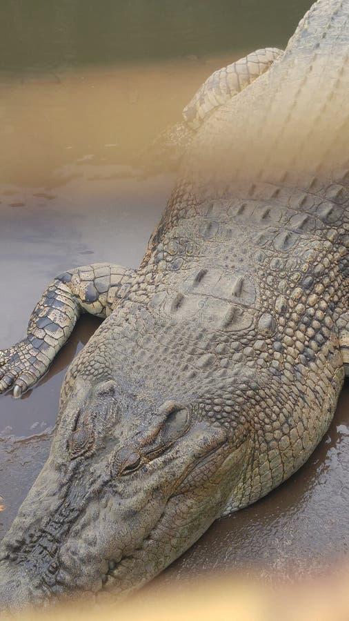 Crocodille relaxa sobre foto de stock royalty free
