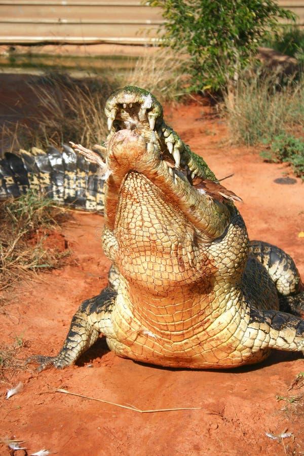 Crocodilo ávido fotos de stock royalty free