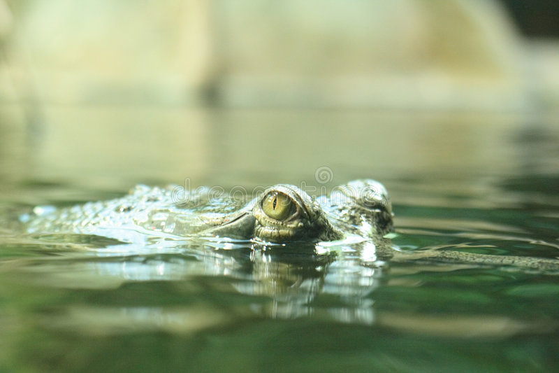 Crocodilo fotos de stock royalty free