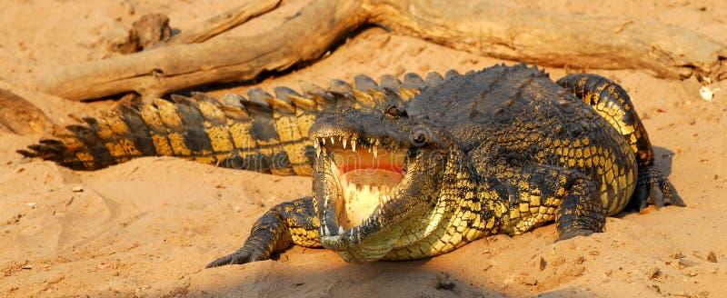 Crocodilo africano imagem de stock royalty free