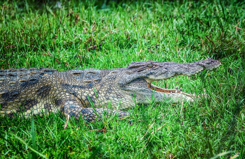 Crocodilo africano no parque nacional de Murchison Falls, Uganda imagem de stock