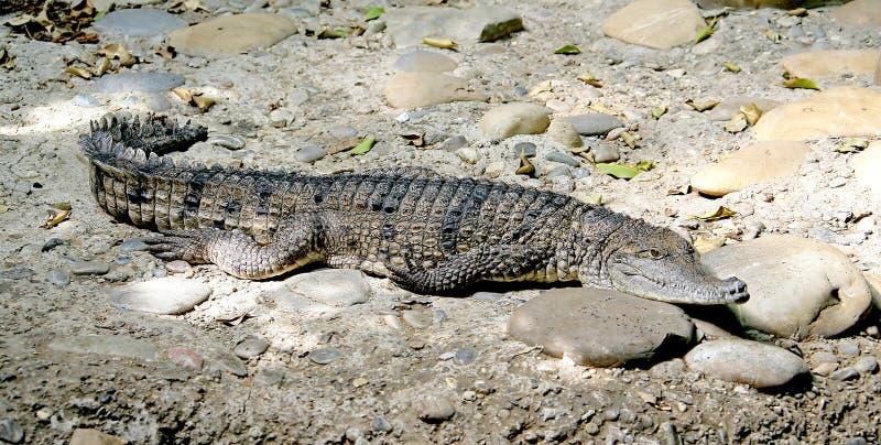 Crocodilo australiano 3 foto de stock royalty free