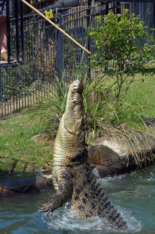 Crocodilo australiano da água salgada foto de stock royalty free