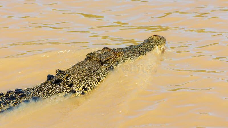 Crocodilo australiano da água salgada em Adelaide River fotografia de stock royalty free