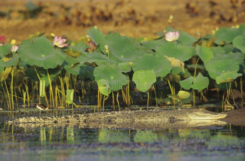 Crocodilo australiano da água salgada no pântano imagens de stock royalty free