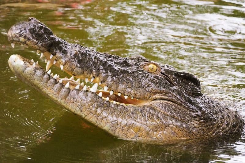 Crocodilo australiano do Saltwater fotografia de stock