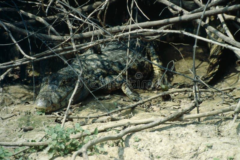 Crocodilo - bacia de Amazon imagens de stock royalty free