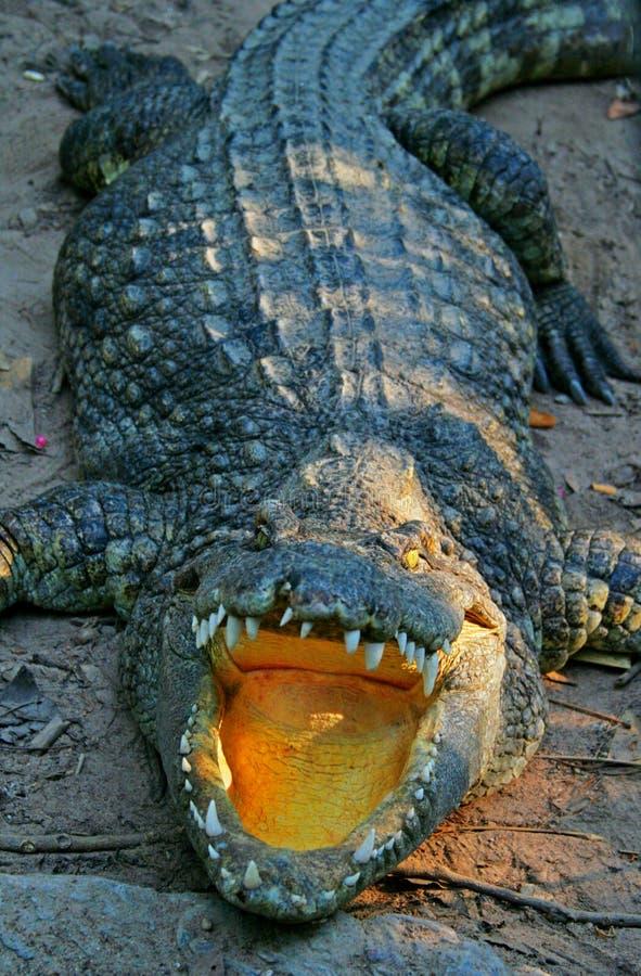 Crocodilo com boca aberta foto de stock