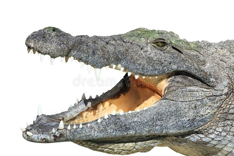 Crocodilo com a boca aberta isolada no branco fotografia de stock royalty free
