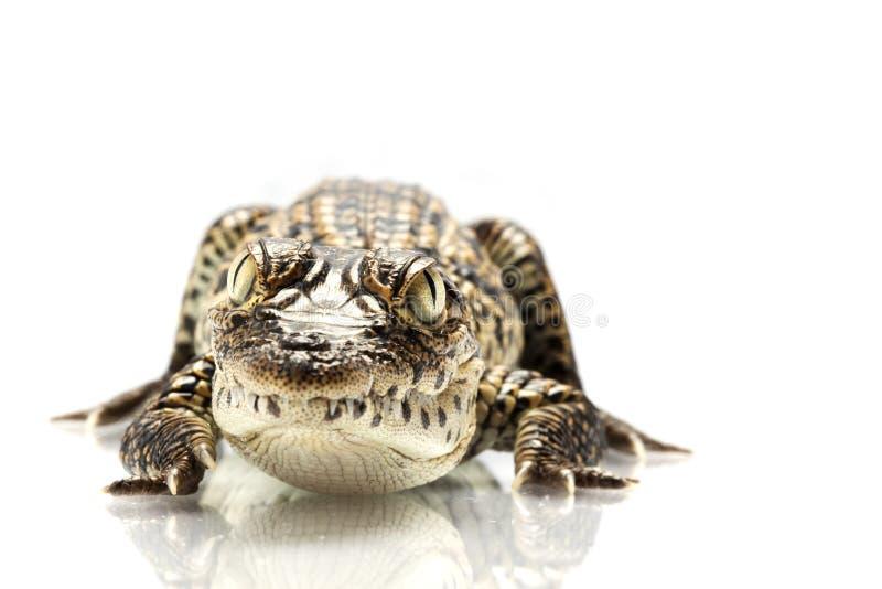 Crocodilo cubano foto de stock royalty free