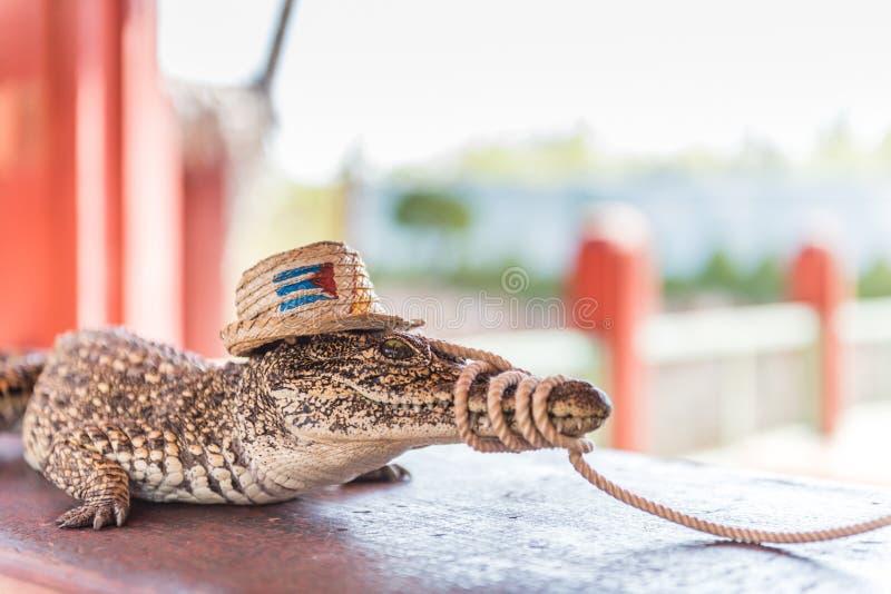Crocodilo cubano - pântano de Zapata fotos de stock