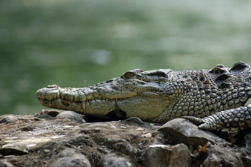 Crocodilo da água salgada imagem de stock