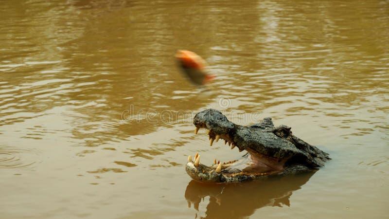 Crocodilo da floresta úmida das Amazonas em Bolívia imagem de stock