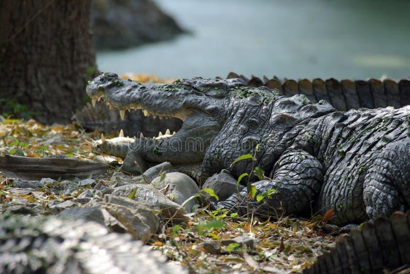 Crocodilo de água doce imagens de stock royalty free