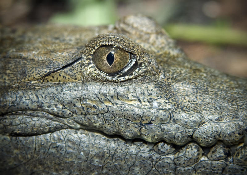 Crocodilo de água doce australiano imagem de stock royalty free