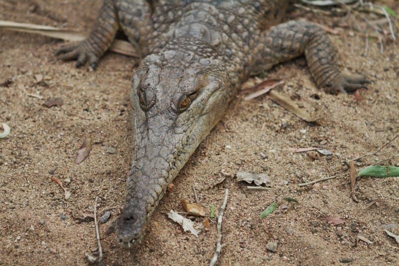 Crocodilo de água doce australiano fotografia de stock royalty free