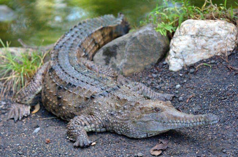 Crocodilo de água doce em um banco de rio imagens de stock royalty free