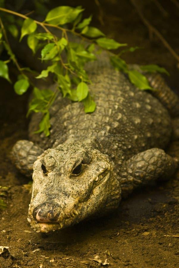 Crocodilo de espreitamento fotografia de stock royalty free