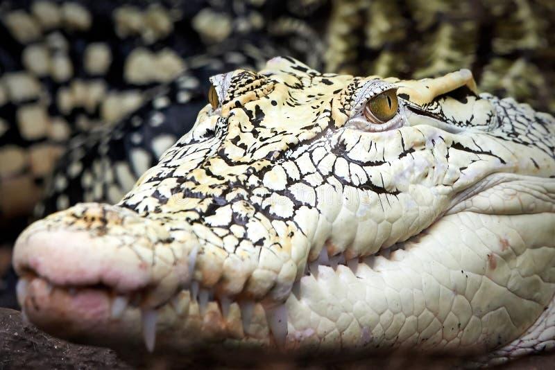 Crocodilo de Nova Guiné (novaeguineae do Crocodylus) imagem de stock royalty free
