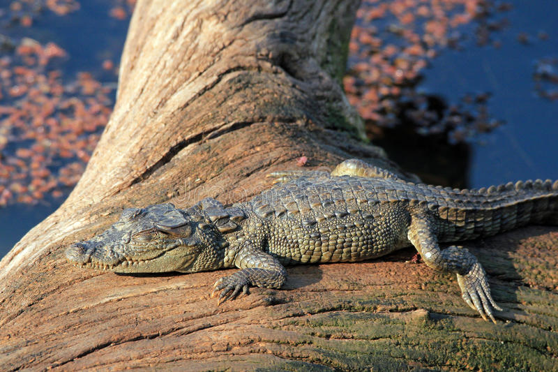 Crocodilo do bebê imagens de stock