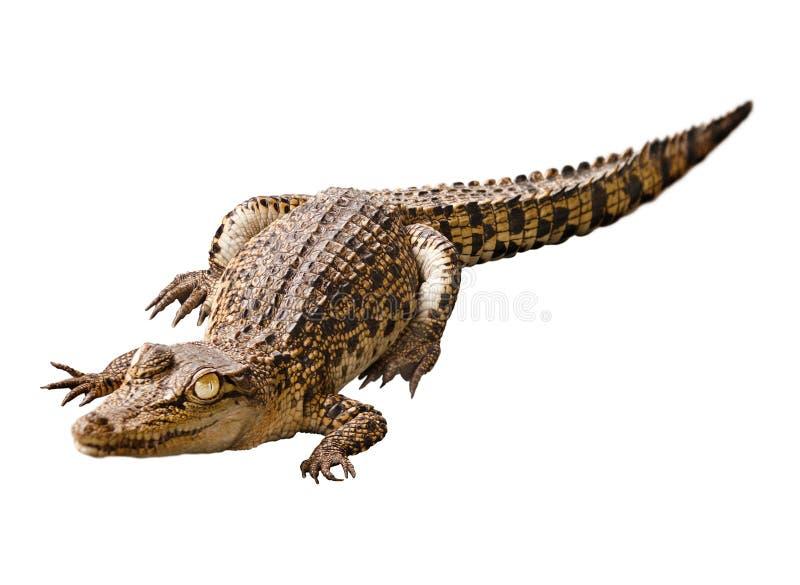 Crocodilo do bebê isolado no fundo branco fotos de stock royalty free
