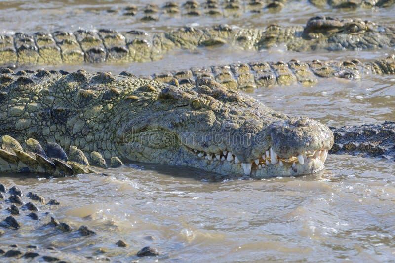 Crocodilo do Nilo na água imagem de stock royalty free