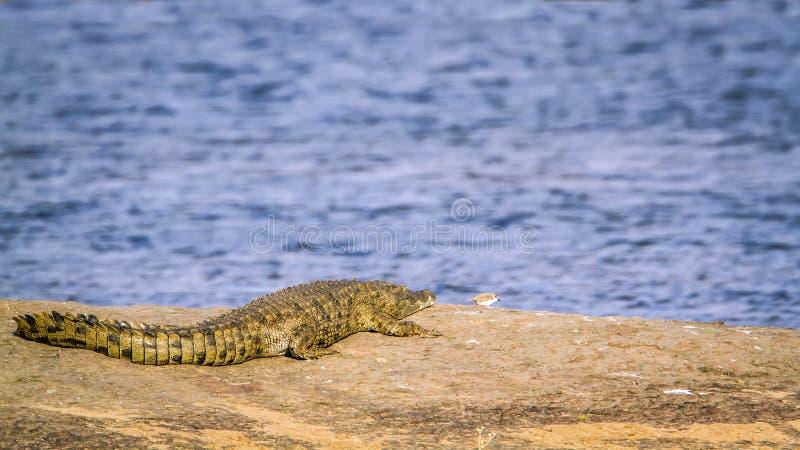 Crocodilo do Nilo no parque nacional de Kruger, África do Sul foto de stock