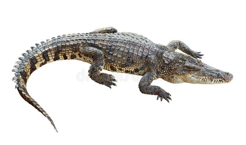 Crocodilo dos animais selvagens isolado no branco fotos de stock