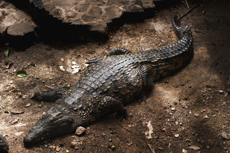 Crocodilo em Maurícias fotografia de stock