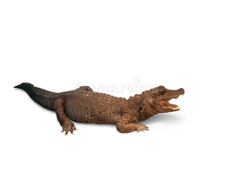 Crocodilo em um branco fotos de stock