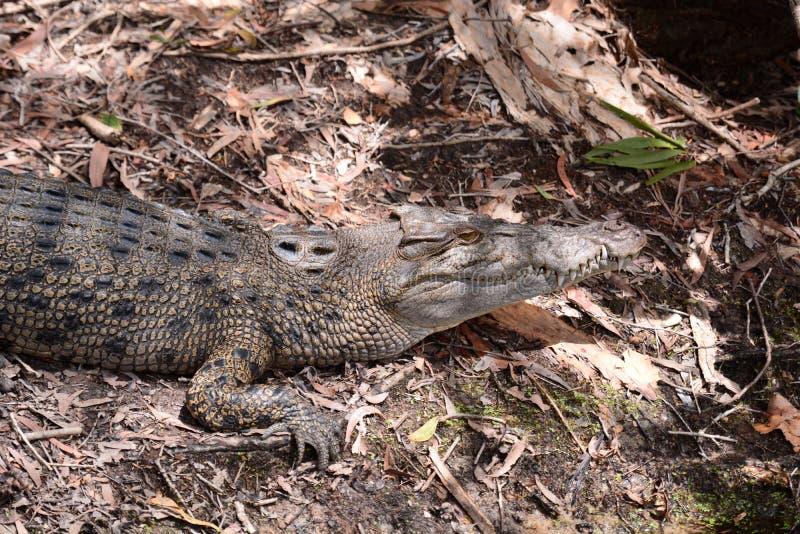 crocodilo Explora??o agr?cola do crocodilo de Hartley Wangetti Condado de Douglas queensland austr?lia fotos de stock