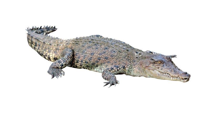 Crocodilo isolado fotografia de stock