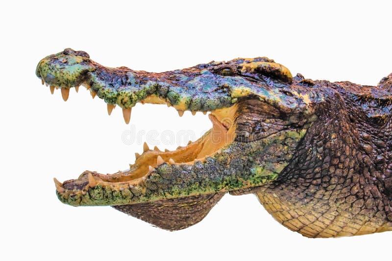 Crocodilo isolado fotografia de stock royalty free