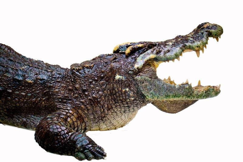 Crocodilo isolado foto de stock royalty free