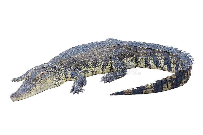 Crocodilo isolado no branco imagem de stock