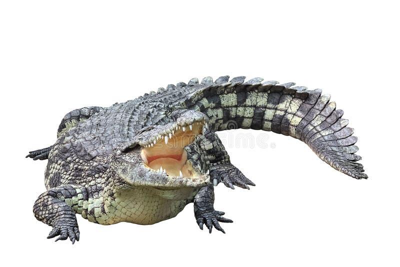 Crocodilo isolado no fundo branco imagens de stock