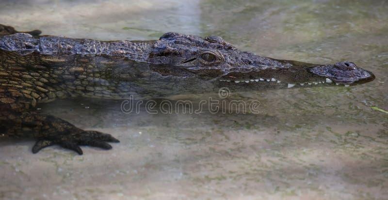 Crocodilo juvenil do Nilo na água pouco profunda imagens de stock