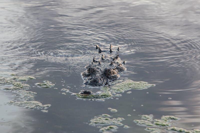 Crocodilo na água pouco profunda imagem de stock