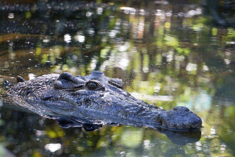 Crocodilo na lagoa imagens de stock royalty free