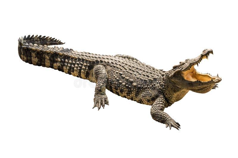 Crocodilo no fundo branco. fotografia de stock