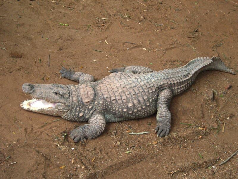 Crocodilo no jardim zoológico de Mysore imagens de stock