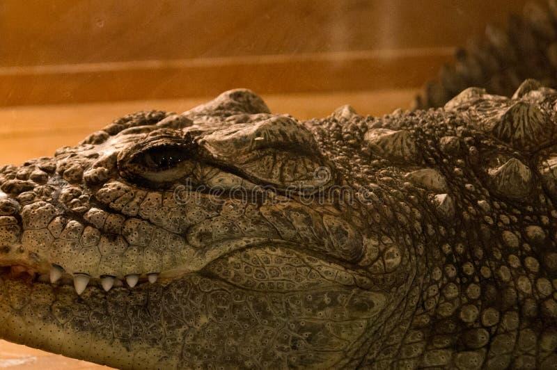 Crocodilo no terrarium fotos de stock royalty free