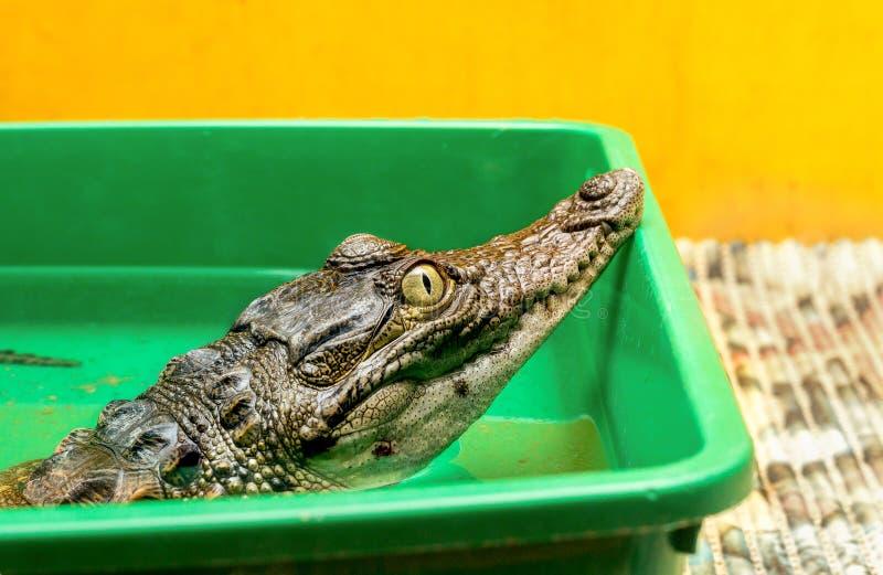 Crocodilo no terrarium imagens de stock