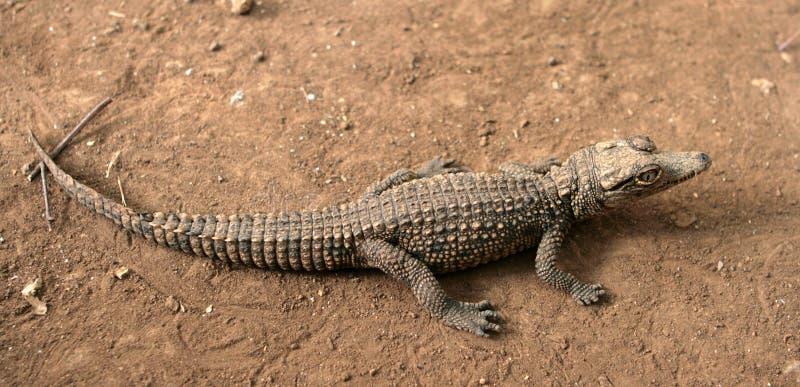 Crocodilo novo foto de stock royalty free