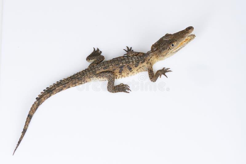 Crocodilo novo acima da parte superior imagem de stock